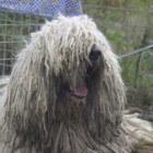 De Komondor, een oud Hongaars hondenras