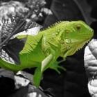 De groene leguaan: geschikt om als huisdier te houden?