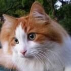 Turkse Van kat - rasbeschrijving