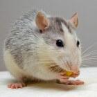 Baarmoederontsteking bij ratten