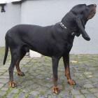 Black and tan Coonhound, een vriendelijke jachthond