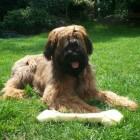 Franse herdershond: De Briard