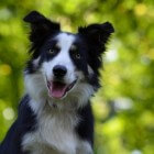 De Schotse Border Collie