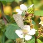 Vlinder – Eikenpage op Ameland
