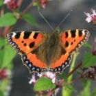 Vlinders – Ameland Vlinderland met Duinparelmoervlinder