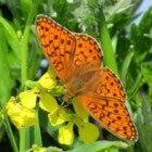 Vlinder – Duinparelmoervlinder op Ameland