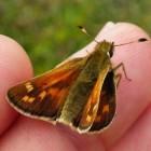 Vlinder – Kommavlinder op Ameland