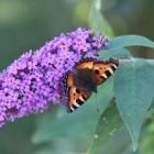 Vlinder – Kleine vos op Ameland