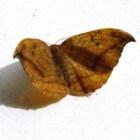 Vlinder – Bruine eenstaart op Ameland