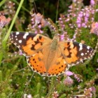 Vlinder – Distelvlinder op Waddeneiland Ameland