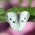 Vlinder – Klein geaderd witje op Ameland