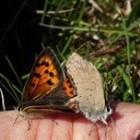Vlinder – Kleine vuurvlinder uit de familie van de blauwtjes