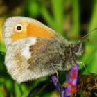 Vlinder – Standvlinder het hooibeestje