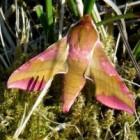 Vlinder – Nachtvlinder Klein avondrood op Ameland