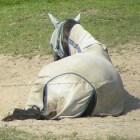 De paardenluisvlieg, een vervelend beestje!
