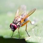 Fruitvliegjes in huis, een lastig probleem
