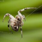 De gezellige spin (metepeira spinipes)