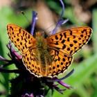 Vlinders met mooie kleuren maar met veel vijanden