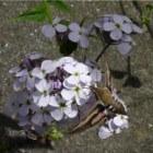 Nachtvlinder Walstropijlstaart