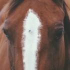 Hoe je paard beschermen tegen vliegen?