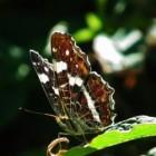 Vlinder – Landkaartje