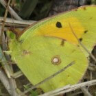 Vlinder – Oranje luzernevlinder
