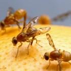 Fruitvliegjes in huis voorkomen en bestrijden
