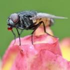 Insecten: de huisvlieg (Musca domestica)