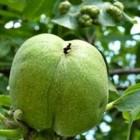De okkernootviltmijt (Aceria erinea)