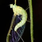 Eendagsvliegen – insecten met een dag voor de voortplanting