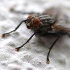 De huisvlieg, een gevaarlijk insect