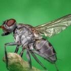 Vliegen zijn bijzondere insecten