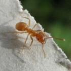 Mieren bestrijden in huis en mieren verjagen uit de tuin