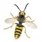 Wespenplaag: wespen weghouden