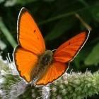Grote vuurvlinder - Lycaena dispar batava