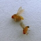Wat zijn fruitvliegjes en hoe raak je ze kwijt