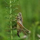 Wat zijn de verschillen tussen sprinkhanen en krekels?