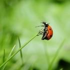 Kapoentjes of lieveheersbeestjes