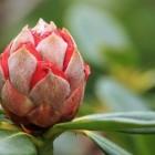 Schadelijke insecten op rododendron: biologische bestrijding