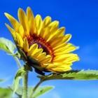 Schadelijke insecten op sierplanten: biologische bestrijding