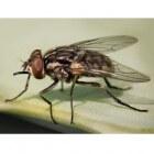 De stalvlieg: een als huisvlieg vermomde steekvlieg