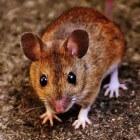 Muizen bestrijden met gif. Helpt het?