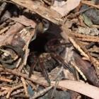 Valdeurspinnen – jagen vanuit een hinderlaag