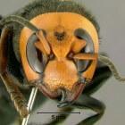 Aziatische hoornaar: gevaar voor mensen in Nederland?