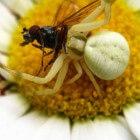 De krabspin – een kleine spin met krachtig gif