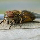 De daas of paardenvlieg – hinderlijk en gevaarlijk
