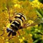 Zweefvliegen zijn een klasse van de insecten