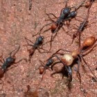 Trekmieren (Eciton burchellii) – rovers uit de Amazone
