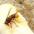 De hoornaar – kenmerken, leefgebied en voortplanting