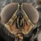 Buffelvlieg: een wereldwijd gevaarlijke bijtvlieg